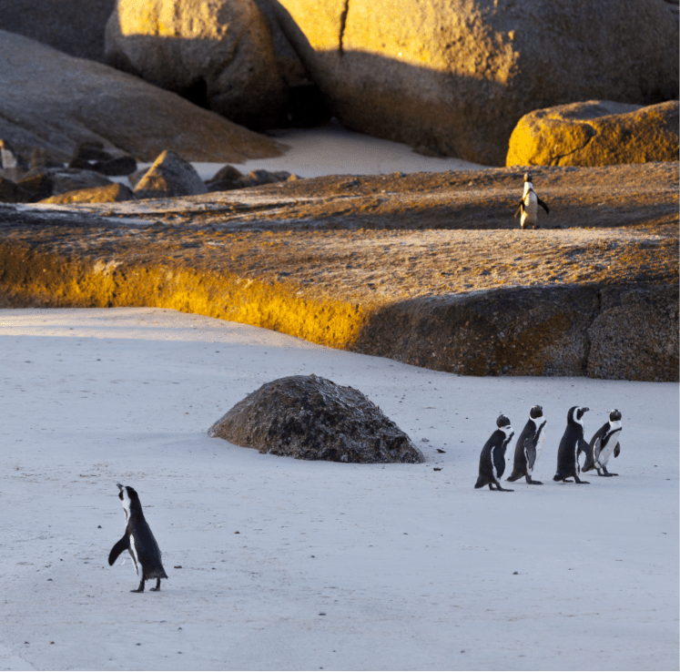 Male penguin calling at Boulders Beach